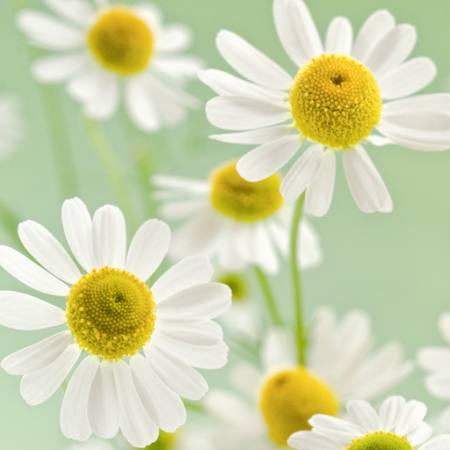 flowers, flower, white, yellow Italianestro - Dreamstime