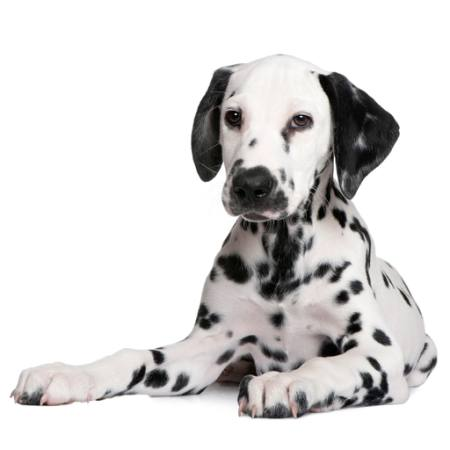 dog, spots, animal Isselee - Dreamstime