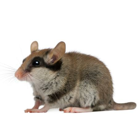 mouse, rat, animal Isselee - Dreamstime