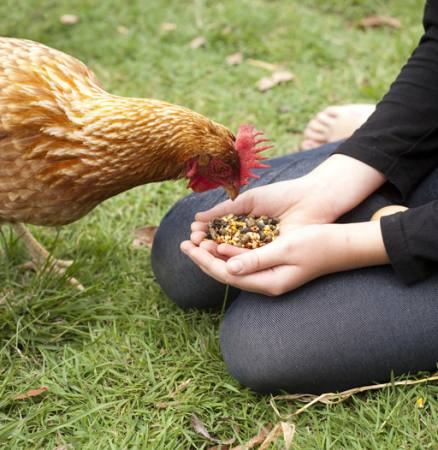 chicken, hands, eat, food, grass, green Gillian08 - Dreamstime