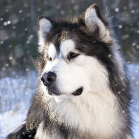 wolf, dog, animal, wild Lilun - Dreamstime
