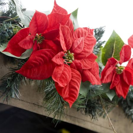 poinsettias, flower, red, garden, plants, christmas Jose Gil - Dreamstime