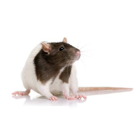 rodent, animal, mouse Isselee - Dreamstime