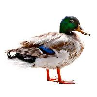 Pixwords The image with animal, water, swim, duck, bird Wastesoul - Dreamstime