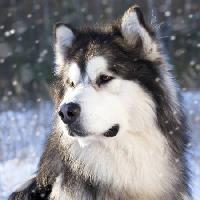 Pixwords The image with wolf, dog, animal, wild Lilun - Dreamstime