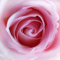 Pixwords The image with flower, pink Misterlez - Dreamstime